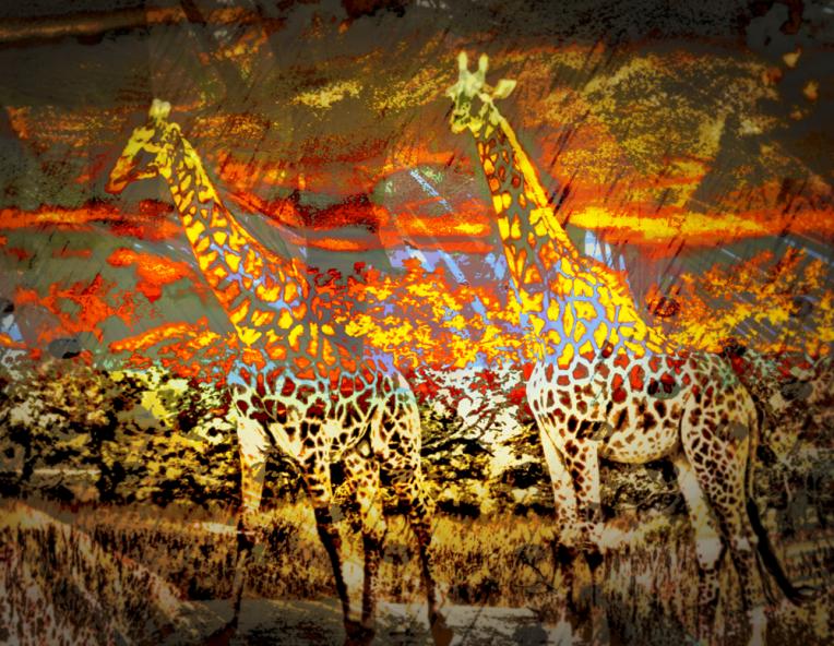 wild giraffe at sunset res st